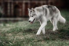 美丽的西伯利亚爱斯基摩人狗喜欢狼 免版税库存照片