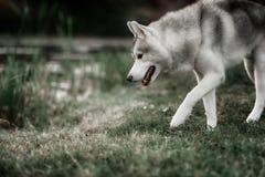 美丽的西伯利亚爱斯基摩人狗喜欢狼 图库摄影
