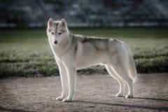 美丽的西伯利亚爱斯基摩人狗喜欢狼 库存照片