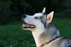 美丽的西伯利亚爱斯基摩人狗 免版税库存图片