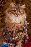 美丽的西伯利亚猫 库存照片