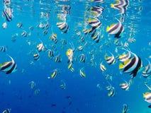 美丽的角度鱼学校的水下的射击  库存图片