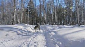 美丽的走在有多壳的狗的冬天森林里的妇女和小孩子 有女儿的愉快的年轻母亲的 股票录像