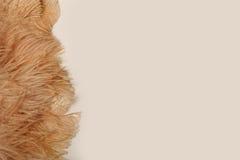 美丽的软的奶油色驼鸟在白色背景用羽毛装饰 免版税库存照片