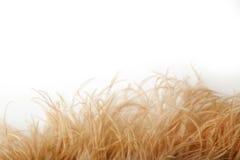 美丽的软的奶油色驼鸟在白色背景用羽毛装饰 库存照片