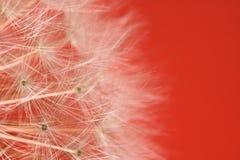 美丽的软的纹理蒲公英白花雌蕊突出了与拷贝空间的样式 库存照片