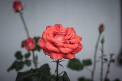 美丽的轻轻地猩红色玫瑰 灰色墙壁 图库摄影