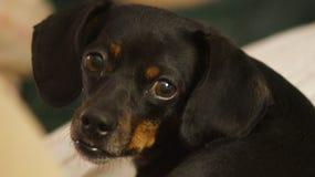 美丽的达克斯猎犬 免版税图库摄影