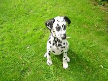 美丽的达尔马希亚小狗坐了骄傲 免版税库存照片