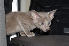 美丽的迷人的紫罗兰色东方小猫画象  免版税库存图片