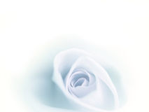 美丽的迷离蓝色玫瑰在白色背景退了色 免版税图库摄影