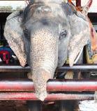 美丽的逗人喜爱的大象在庭院种田室外 免版税库存图片