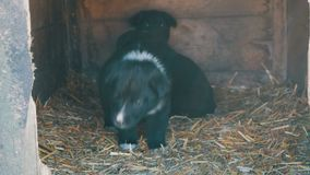 美丽的逗人喜爱的滑稽的矮小的黑白小狗在狗屋和戏剧坐 股票视频