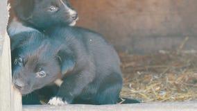 美丽的逗人喜爱的滑稽的矮小的黑白小狗在狗屋和戏剧坐 影视素材