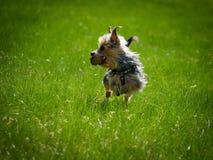 美丽的逗人喜爱的狗通过空气飞行并且拿着在他的嘴的玩具 库存照片