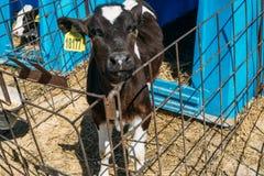 美丽的逗人喜爱的白色和黑幼小母牛或小牛 免版税库存图片