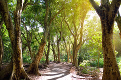 美丽的道路穿过导致Honolua海湾海滩,毛伊,夏威夷的热带雨林 免版税库存图片