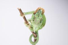 美丽的遮遮掩掩变色蜥蜴在有幼虫的(白色背景)演播室 免版税库存图片