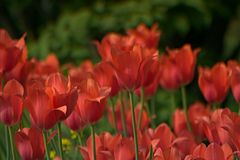 美丽的郁金香在庭院里开花并且绿化叶子背景 库存照片