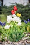 美丽的郁金香在庭院,春天场面里 库存照片