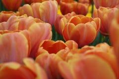 美丽的郁金香在春天 库存照片