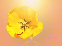 美丽的郁金香特写镜头 库存图片