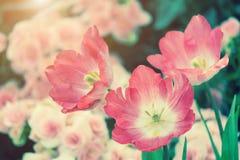 美丽的郁金香花和绿色叶子背景在庭院里在冬天或春日 免版税库存图片