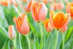 美丽的郁金香花和绿色叶子背景在郁金香在冬天或春日从事园艺 库存照片