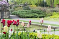 美丽的郁金香花在公园 库存照片