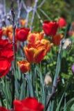 美丽的郁金香,新鲜的春天花 库存照片