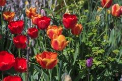美丽的郁金香,新鲜的春天花 库存图片