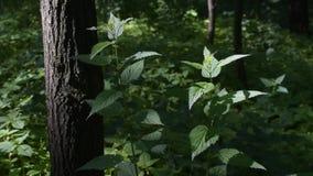 美丽的醉汉,刺人的荨麻新鲜的叶子在森林里 影视素材