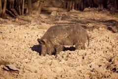 美丽的野公猪寻找一些食物,狂放的猪,狂放的欧亚混血人 库存照片