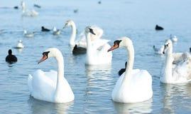 美丽的野生天鹅、鸭子和鸥在黑海c附近漂浮 免版税库存照片