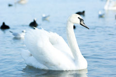 美丽的野生天鹅、鸭子和鸥在黑海c附近漂浮 库存照片