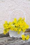 美丽的野生报春花花束在一个白色篮子开花 免版税图库摄影