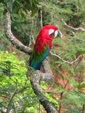 美丽的野生红色金刚鹦鹉,被看见在Buraco das阿拉拉斯(金刚鹦鹉孔 库存图片