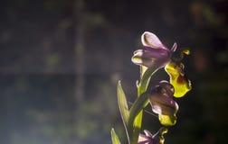 美丽的野生罕见的兰花Ophrys gr 亦称的鸟鹬类 免版税图库摄影