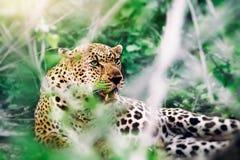 美丽的野生豹子 库存图片