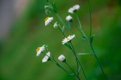 美丽的野生雏菊开花有被弄脏的绿色背景 免版税库存图片