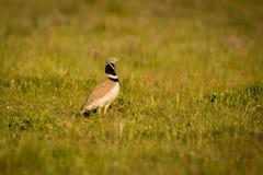 美丽的野生鸟在草甸 图库摄影