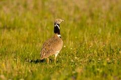 美丽的野生鸟在草甸 库存图片