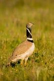 美丽的野生鸟在草甸 免版税库存照片
