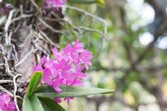 美丽的野花兰花、Ascocentrum或者Vandaceous兰花, R 库存图片