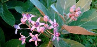 美丽的野花和芽白色珍珠开花臭虫 库存照片
