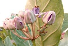 美丽的野花和芽白色珍珠开花蠕虫 免版税库存图片