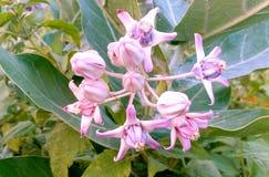 美丽的野花和芽白色珍珠开花 免版税库存照片