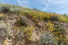 美丽的野花- superbloom现象的部分在步行者峡谷山脉的在湖埃尔西诺附近 免版税库存图片