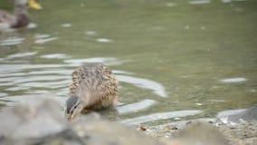 美丽的野鸭在温暖的秋天池塘低头在北挪威 股票录像