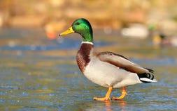 美丽的野鸭男性 免版税库存图片